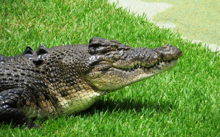 Image of a saltwater crocodile